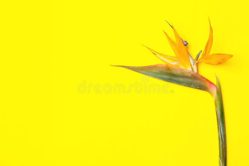 Beautiful bird of paradise flower. On yellow background. Tropical plant stock images