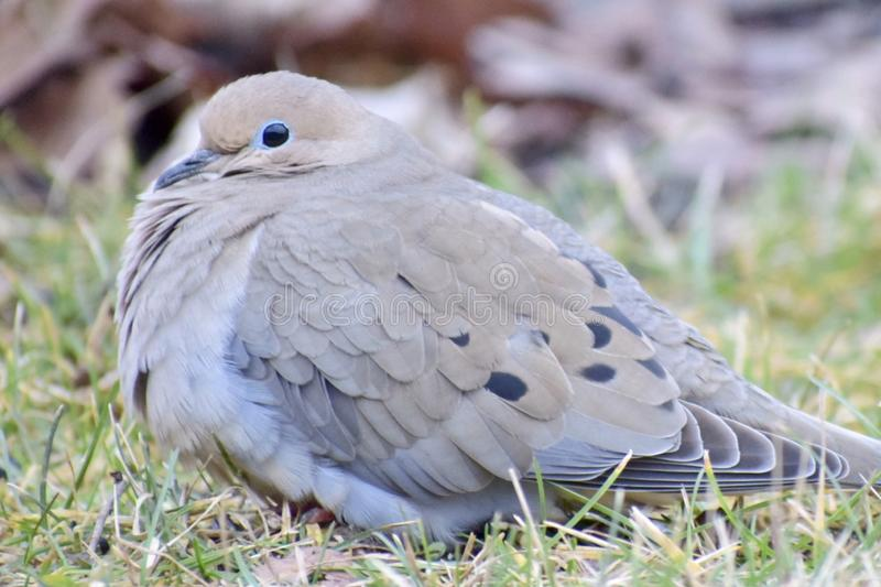 Ground Dove stock photos