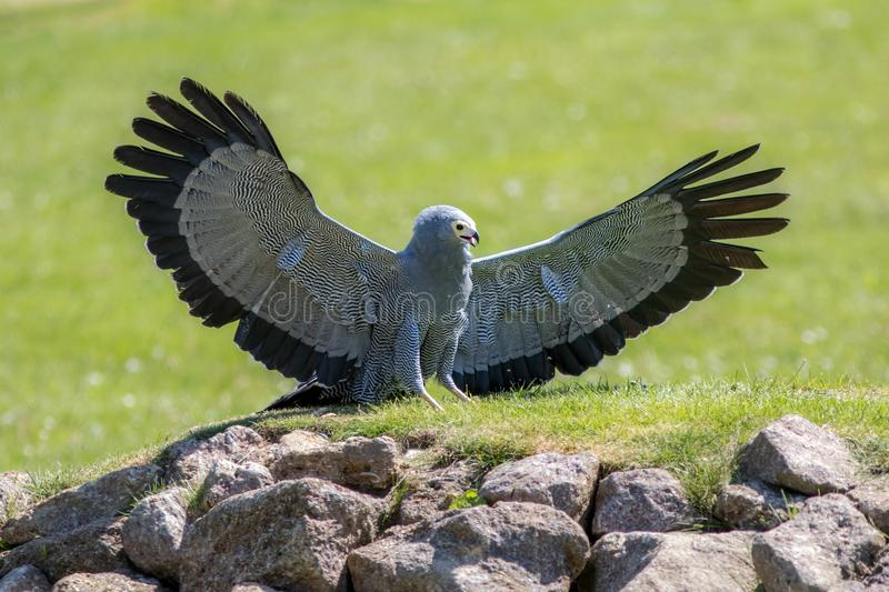 Beautiful bird of prey. African harrier hawk with wings outstretched. stock photos