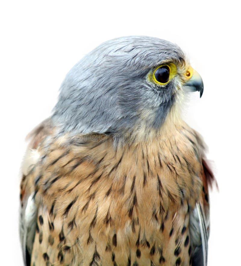 Beautiful bird of prey. Stunning bird of prey isolated on a white background stock photo