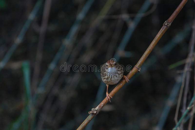 Beautiful bird Puff-throated Babbler in the nature royalty free stock image