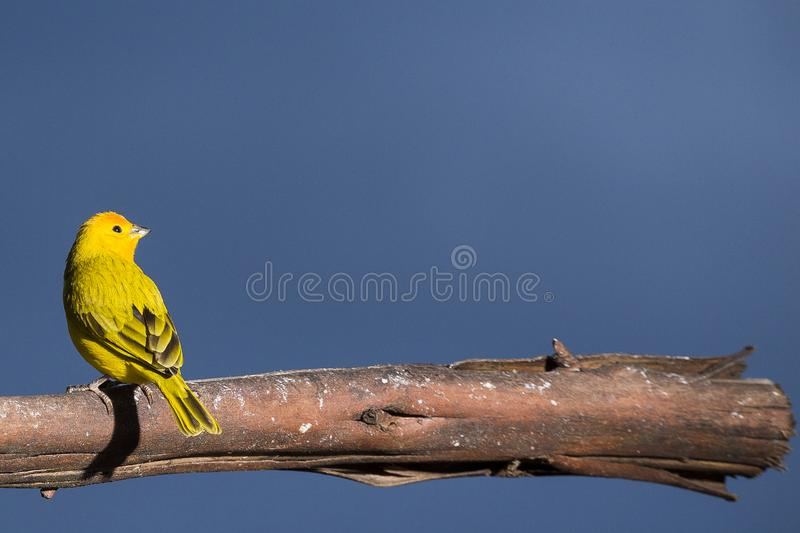 Beautiful bird. Saffron finch - Sicalis flaveola. Colombia stock image