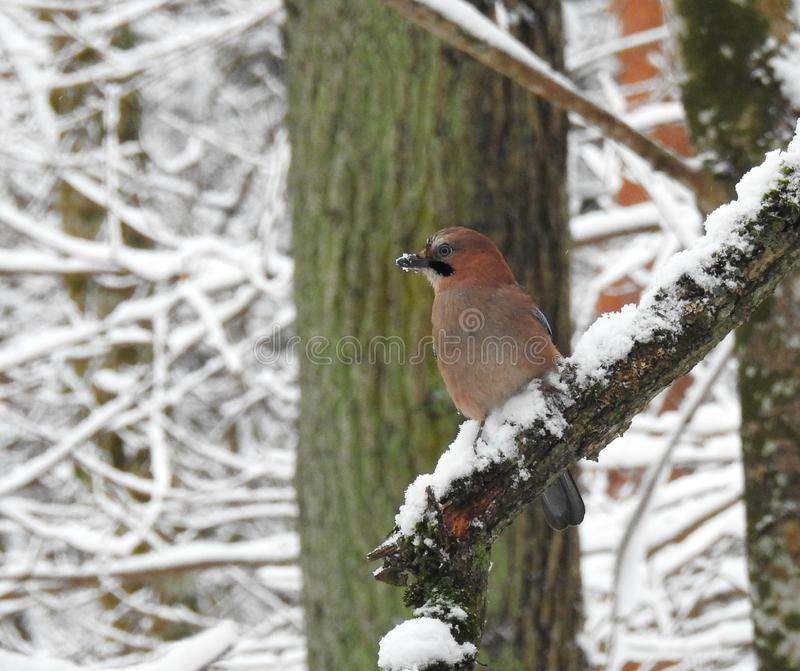 Beautiful bird on snowy tree branch, Lithuania royalty free stock photography