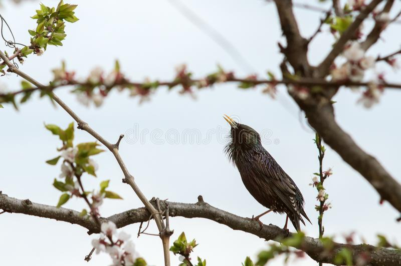 Beautiful bird starling on a flowering tree stock photography