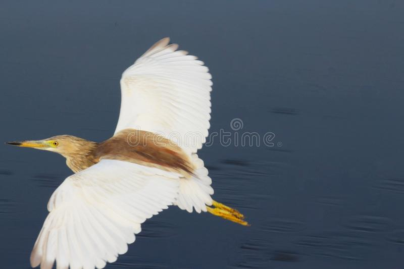 A beautiful bird took off the bay with it& x27;s wings wide open. A closeup view. royalty free stock images