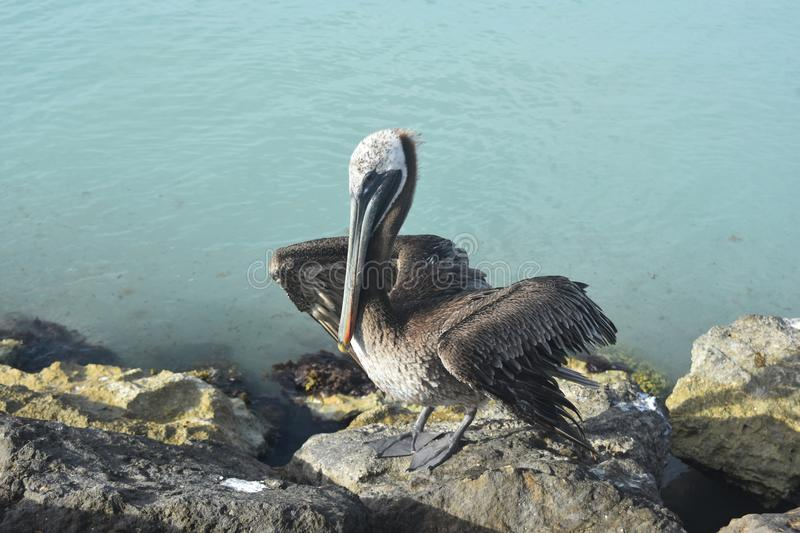 Cute photo of a fluffy feathered pelican stock photos