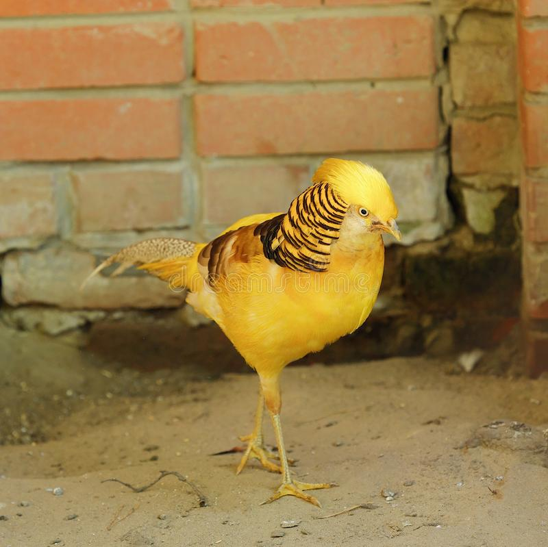 Beautiful bird yellow pheasant in a zoo. View royalty free stock image