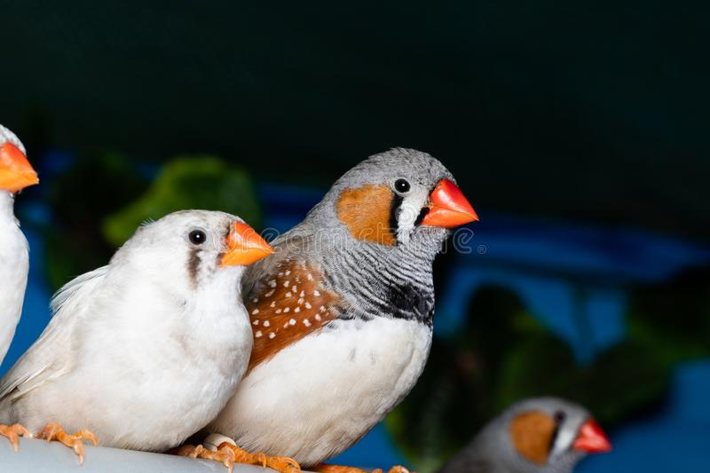 Beautiful bird, Zebra Finch Taeniopygia guttata perching on a branch.  royalty free stock photo