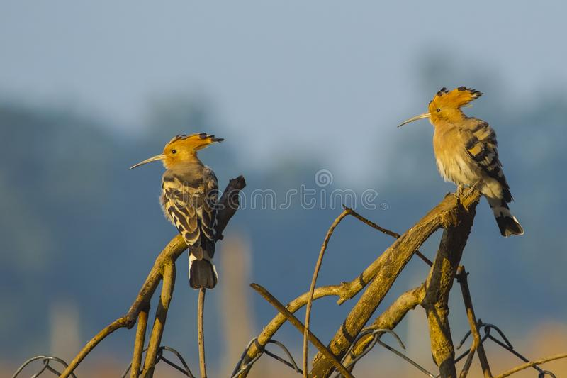 Pair of  Common Hoopoes Perching on Branches. Beautiful birds with fawn heads and crest , long thin beaks, black and white striped wings,and buff chest feathers stock photography