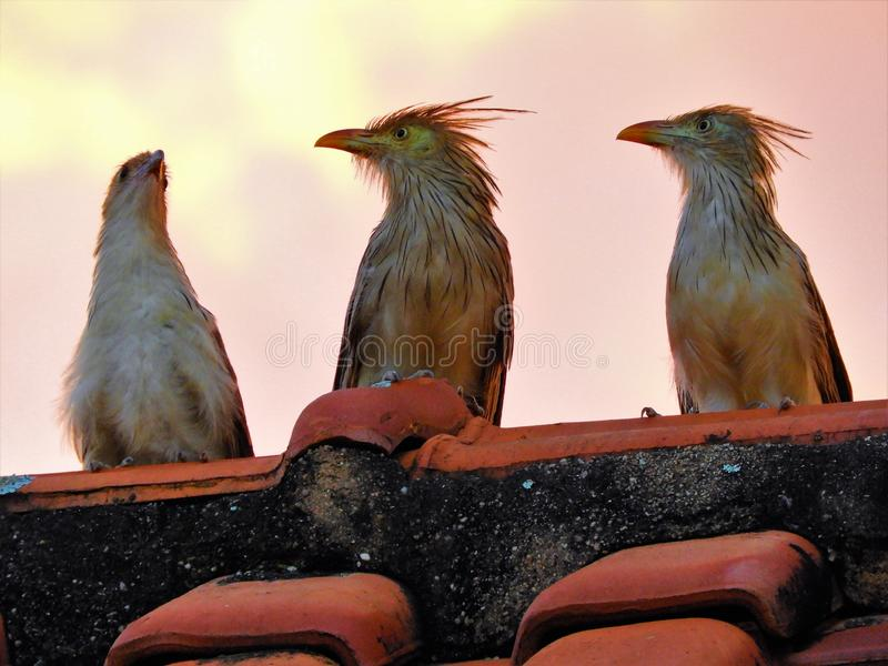 Beautiful birds in the wild. City of Mococa, São Paulo, Brazil stock photography