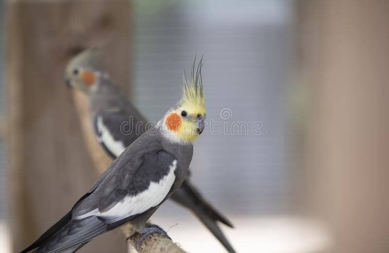 Beautiful Birds  in Zoo Miami. Photograph of a beautiful Cockatiel Birds in the environment of Zoo Miami, South Florida stock photo