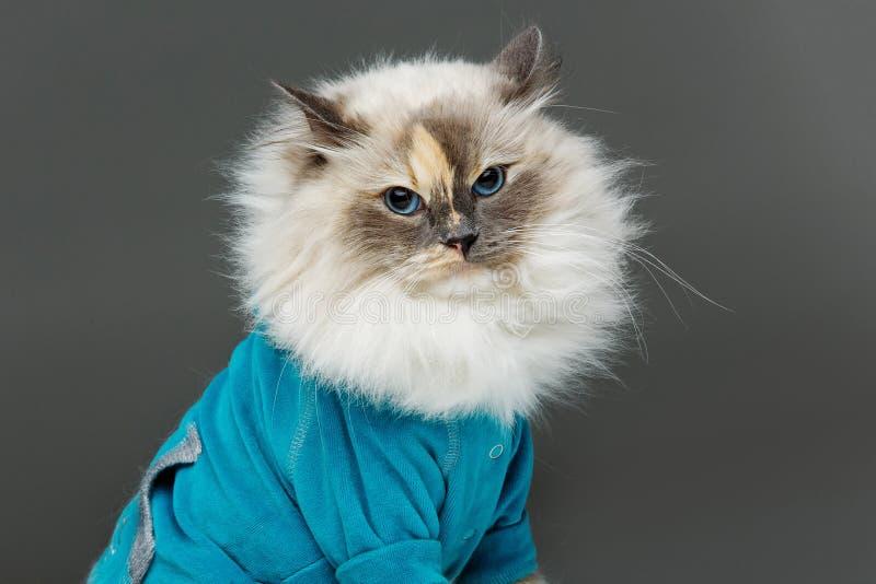Beautiful birma cat in blue shirt. Beautiful long fur birma cat wearing blue shirt pullover isolated on white. studio shot. copy space stock image