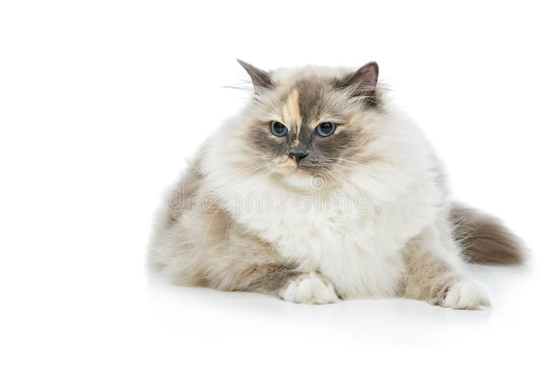 Beautiful birma cat isolated on white. Beautiful long fur birma cat isolated on white. studio shot. copy space royalty free stock photos