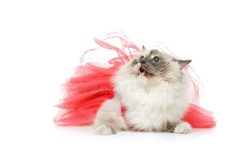 Beautiful birma cat in pink dress. Beautiful long fur birma cat wearing pink coral dress isolated on white. studio shot. copy space royalty free stock images