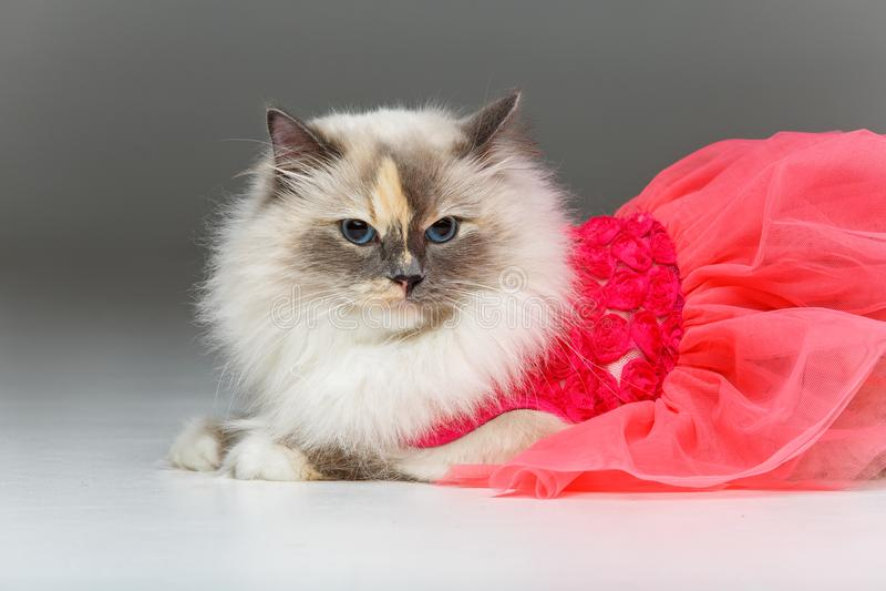 Beautiful birma cat in pink dress. Beautiful long fur birma cat wearing pink coral dress isolated on white. studio shot. copy space royalty free stock photography
