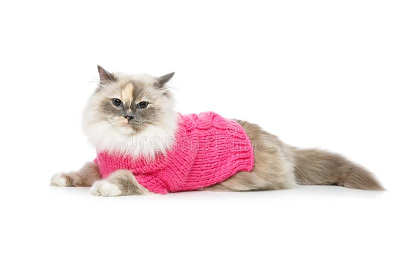 Beautiful birma cat in pink pullover. Beautiful long fur birma cat wearing pink pullover isolated on white. studio shot. copy space royalty free stock photos