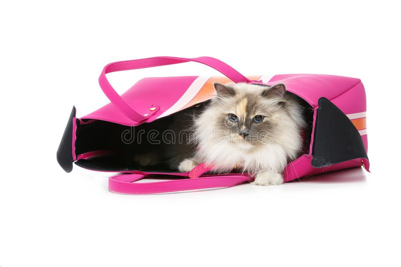Beautiful birma cat in pink pullover. Beautiful long fur birma cat wearing pink pullover sitting in big bag. isolated on white. studio shot. copy space royalty free stock images