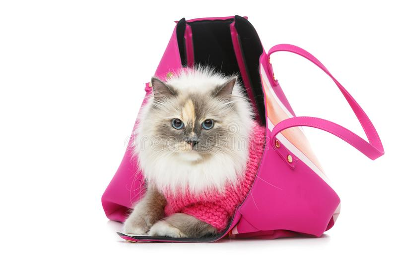 Beautiful birma cat in pink pullover. Beautiful long fur birma cat wearing pink pullover sitting in big bag. isolated on white. studio shot. copy space royalty free stock photos