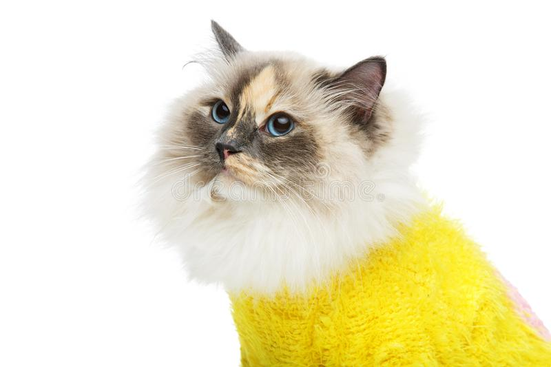 Beautiful birma cat in yellow pullover. Beautiful long fur birma cat wearing yellow pullover isolated on white. studio shot. copy space stock photography