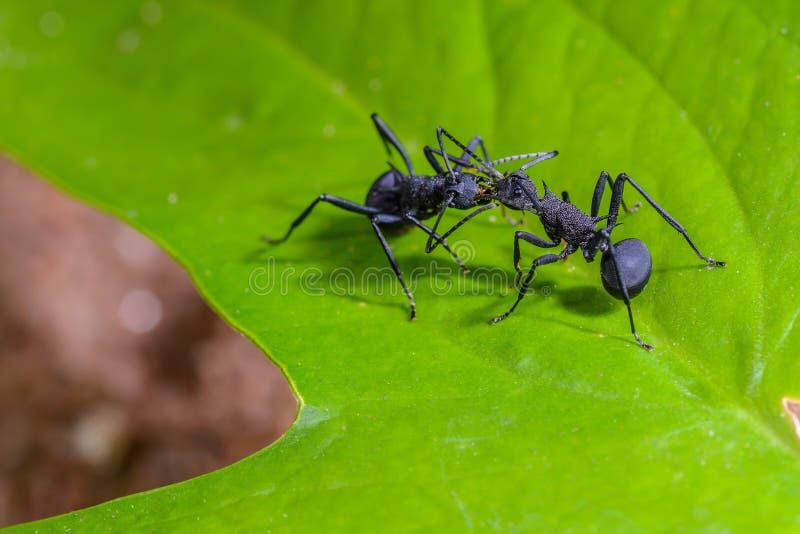 Beautiful black ants stock photography