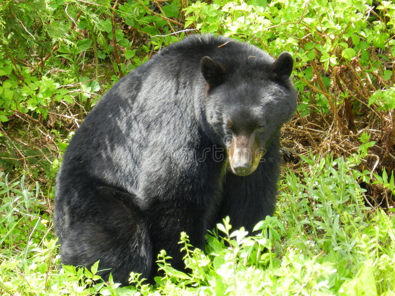 Beautiful Black Bear. Sitting in the wild stock photography