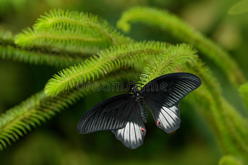 Beautiful black butterfly, Great Mormon, Papilio memnon, resting on the green branch stock images