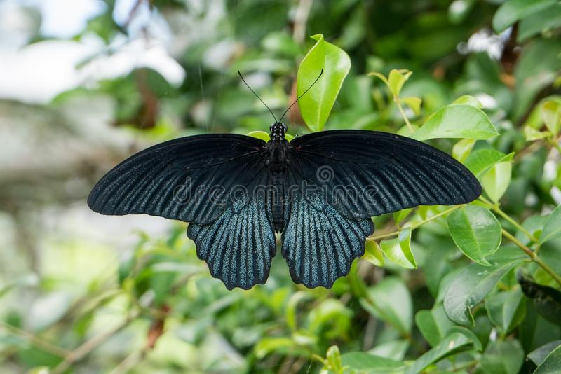 Beautiful black butterfly swallowtail, Papilio Memnon. With wings spread wide on a green leaf royalty free stock photography