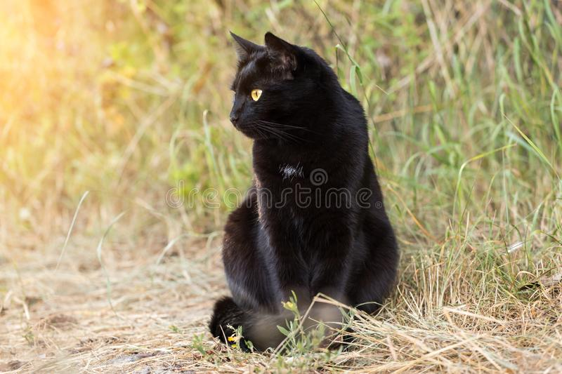 Beautiful black cat portrait in profile outdoors in summer, autumn, sunlight. Beautiful cute black bombay cat portrait with yellow eyes sitting outdoors in royalty free stock images