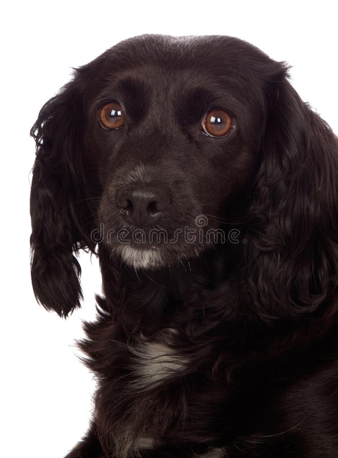 Beautiful Black Cocker Spaniel Royalty Free Stock Photography