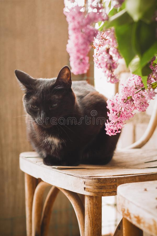 black domestic cat portrait with lilac flowers on a chair at the balcony royalty free stock photos