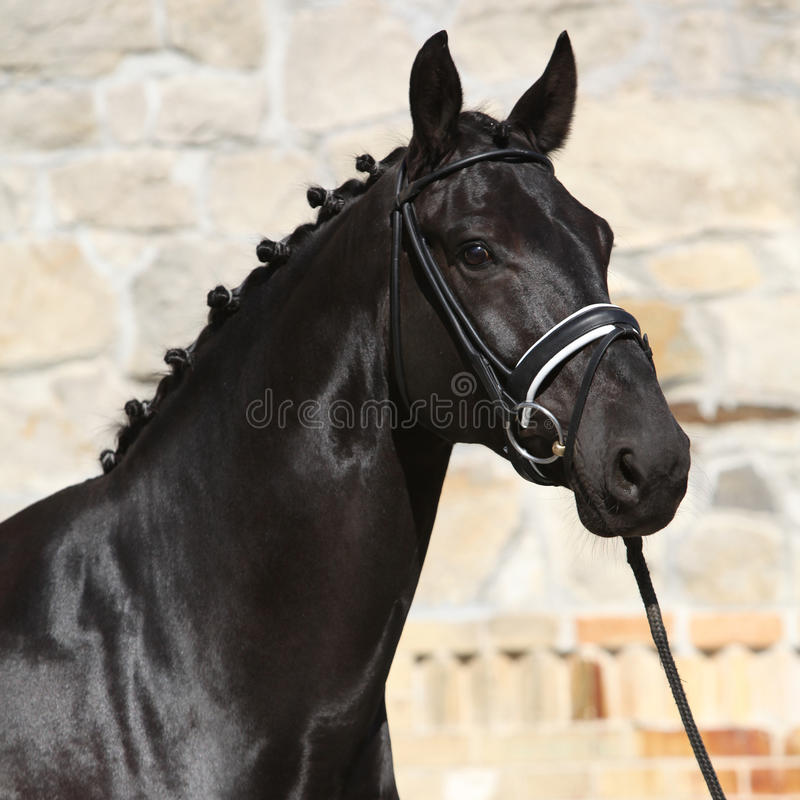Beautiful black dutch warmblood with bridle stock images