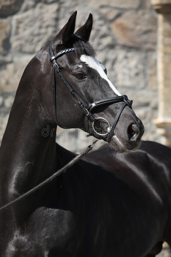 Beautiful black dutch warmblood with bridle royalty free stock photography