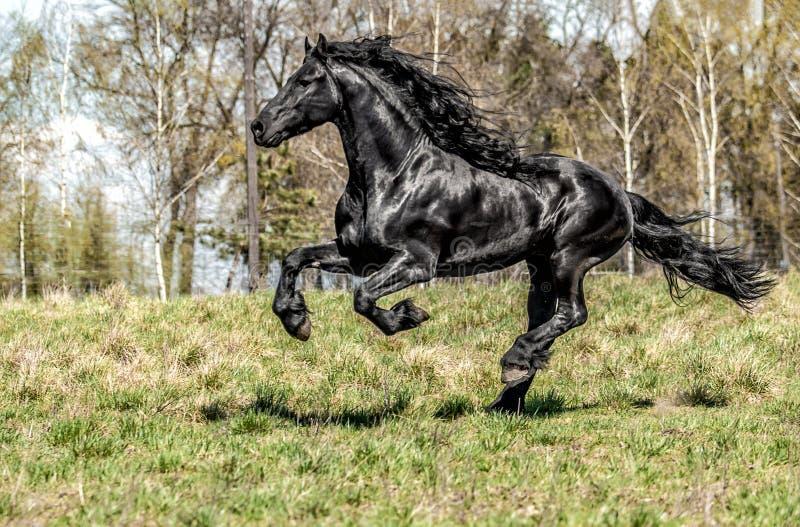 Beautiful black friesian stud stallion royalty free stock image