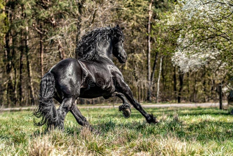 Beautiful black friesian stud stallion royalty free stock photo