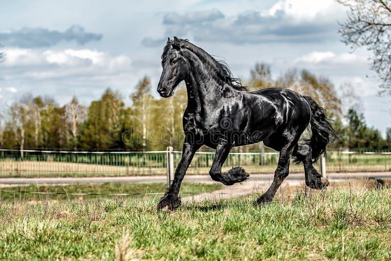 Beautiful black friesian stud stallion royalty free stock photography