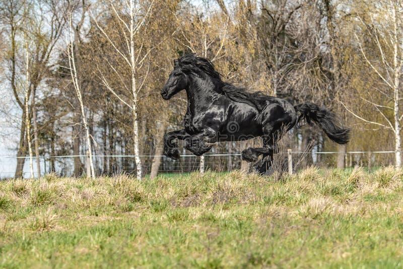 Beautiful black friesian stud stallion stock photo
