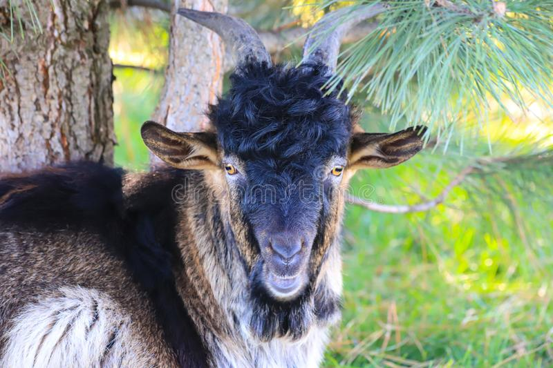 A beautiful black goat with big horns stands on an autumn farm. Gorgeous animals at the contact zoo. Kindness and care for animals. A beautiful black horned goat stock image