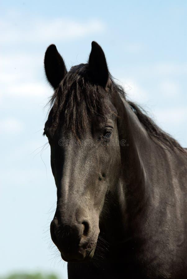 Beautiful black horse royalty free stock image