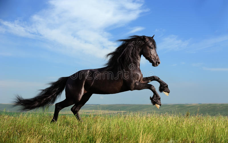 Beautiful black horse playing on the field royalty free stock photos
