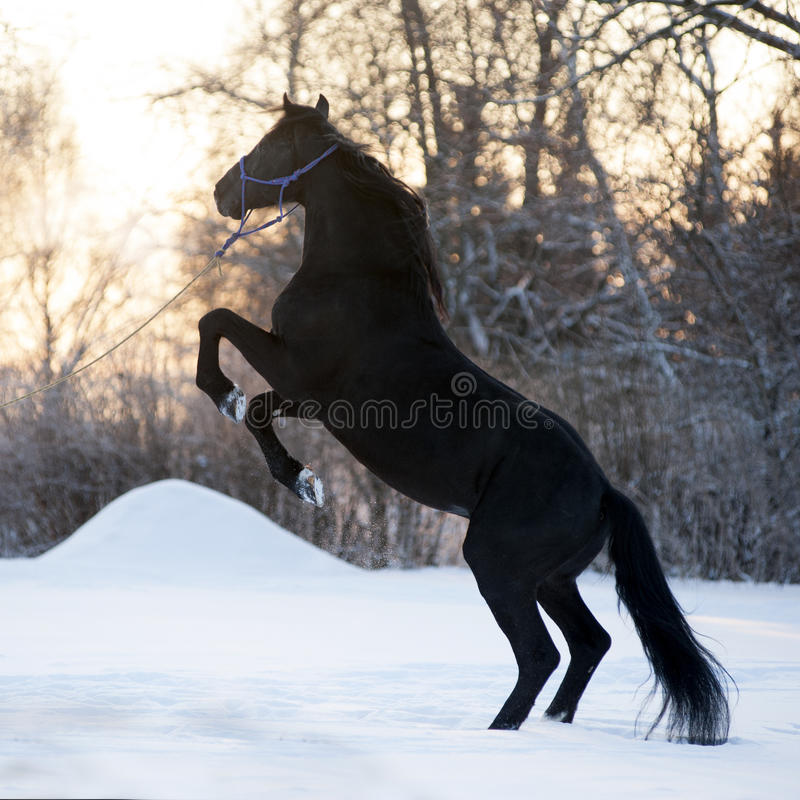 The Beautiful Black Horse Rearing Up On The Meadow In