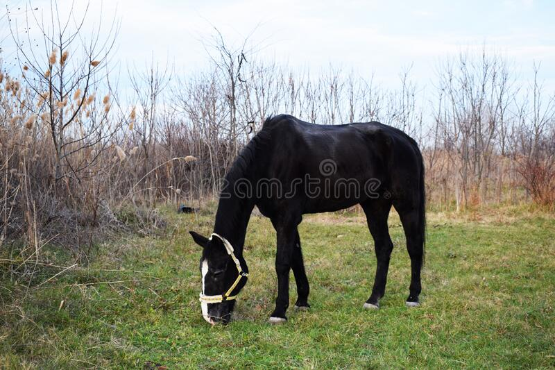 A beautiful black horse in the sea garden in Bourgas. Bulgaria royalty free stock images