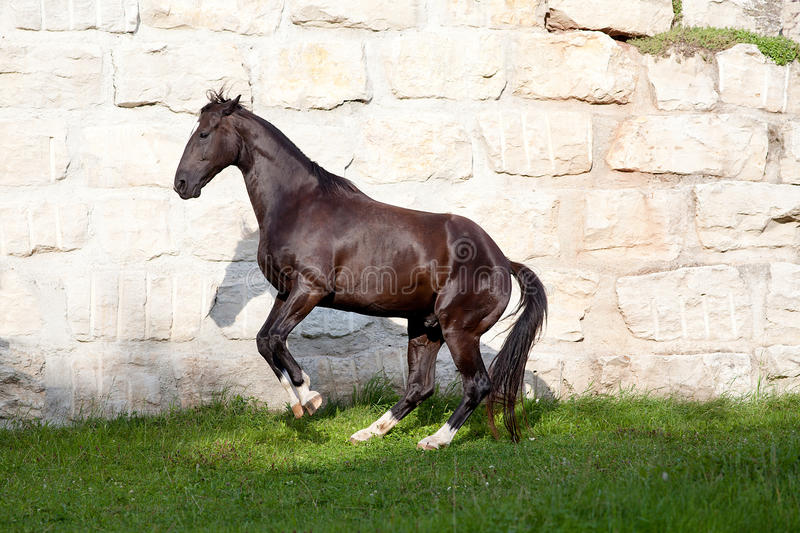 Beautiful black horse stallion rear royalty free stock photo