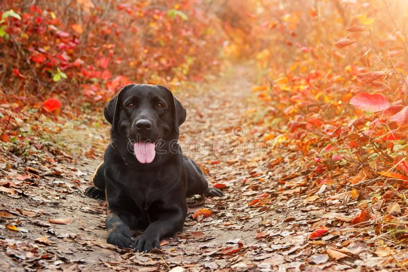 Beautiful black labrador retriever lies against an autumnal forest. Canine background.  stock photography