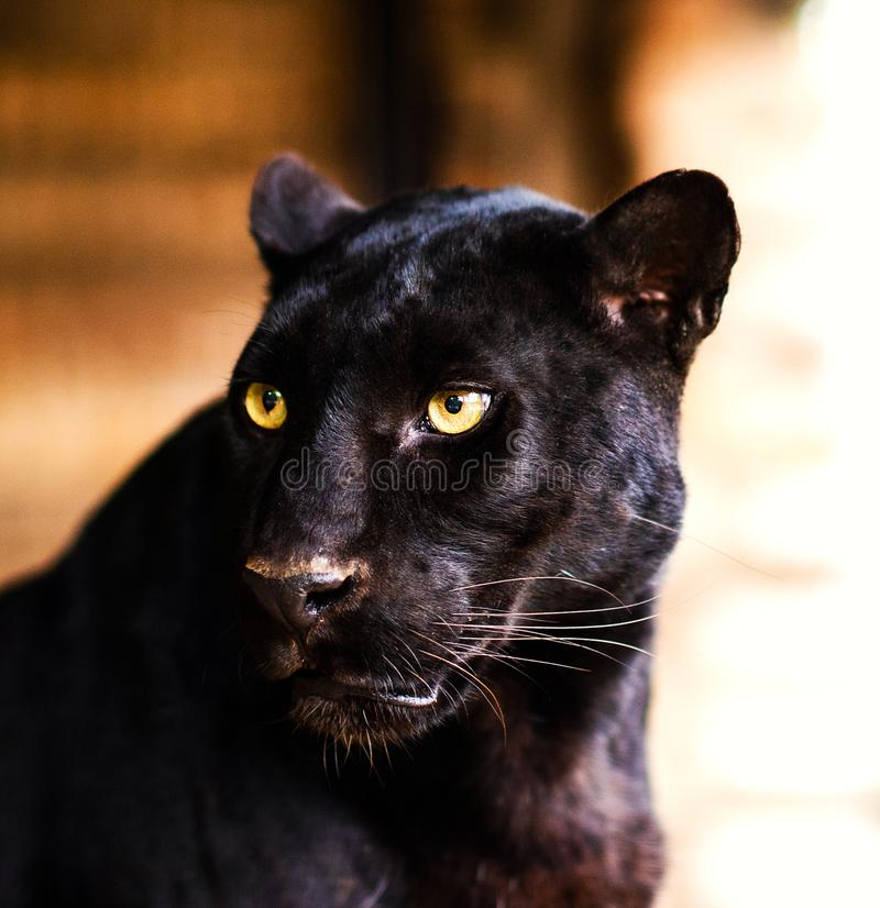 1a22b6cb6 Beautiful black Panther. Angry, animal, background, beast, big, canine,