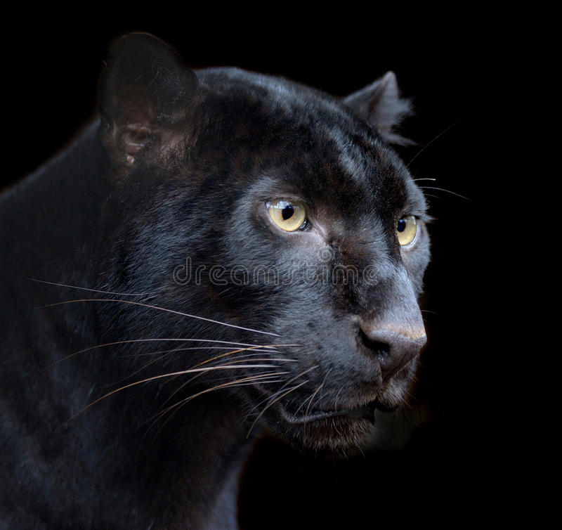 Black Panther. Beautiful black panther on dark bacground stock images