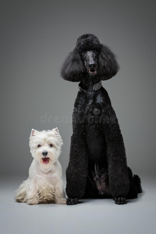 Beautiful black poodle and westie dogs on grey background royalty free stock photos