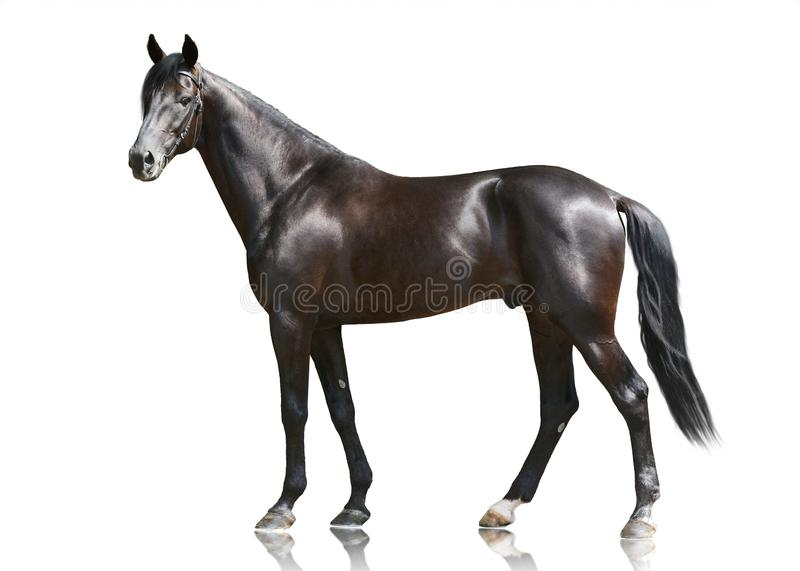 The beautiful black powerfull thoroughbred stallion standing isolated on white background. Side view royalty free stock photos