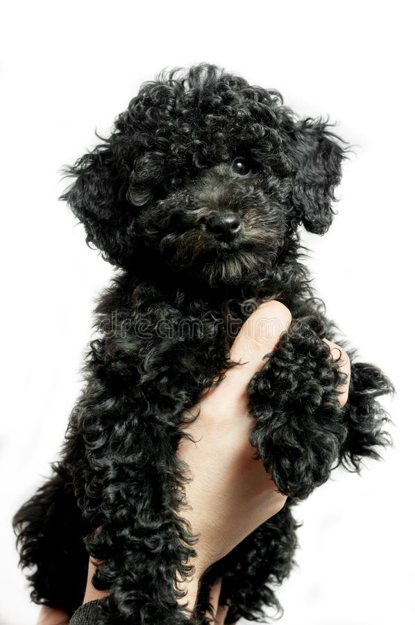 Black puppy poodle on white background royalty free stock images