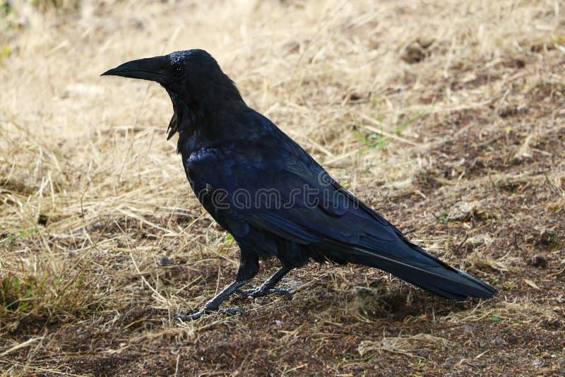 Beautiful black raven close-up on yellow grass stock photography