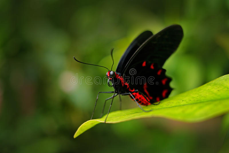 Beautiful black and red poison butterfly, Antrophaneura semperi, in the nature green forest habitat, wildlife, Indonesia. Insect stock image